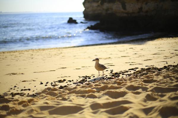 Mouette sur les plages de l'Algarve