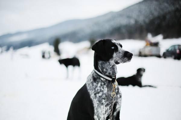 vercors chien neige