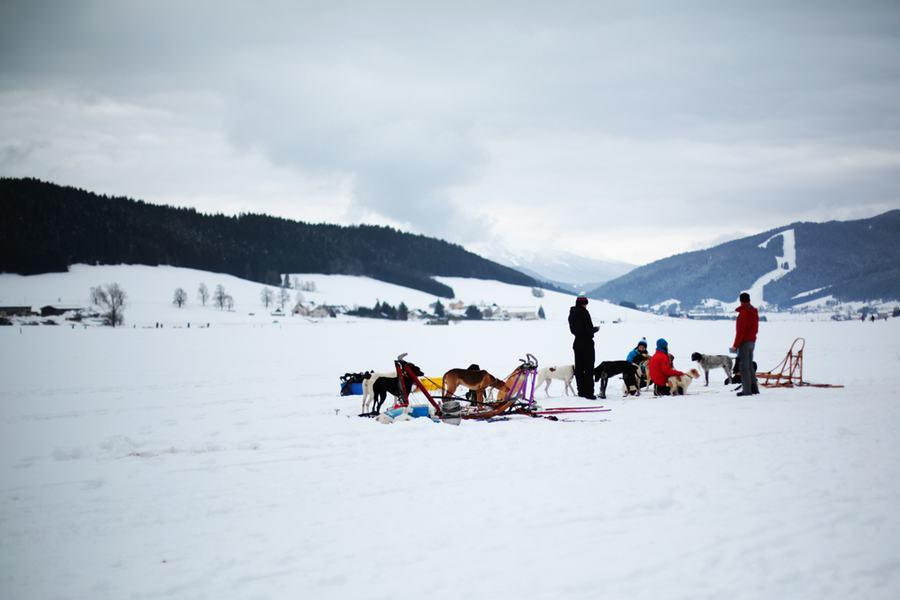 Les chiens de traîneaux dans la montagne du Vercors