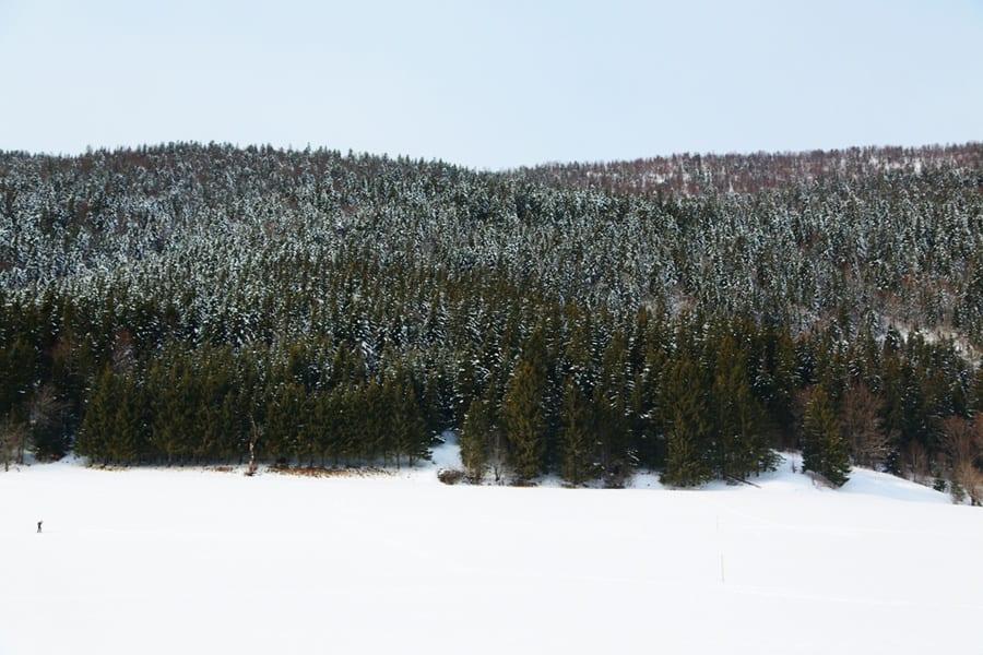 Les pins enneigés