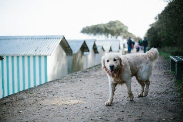 labrador noirmoutier