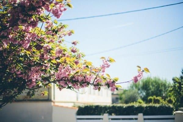 arbre en fleur bouliac