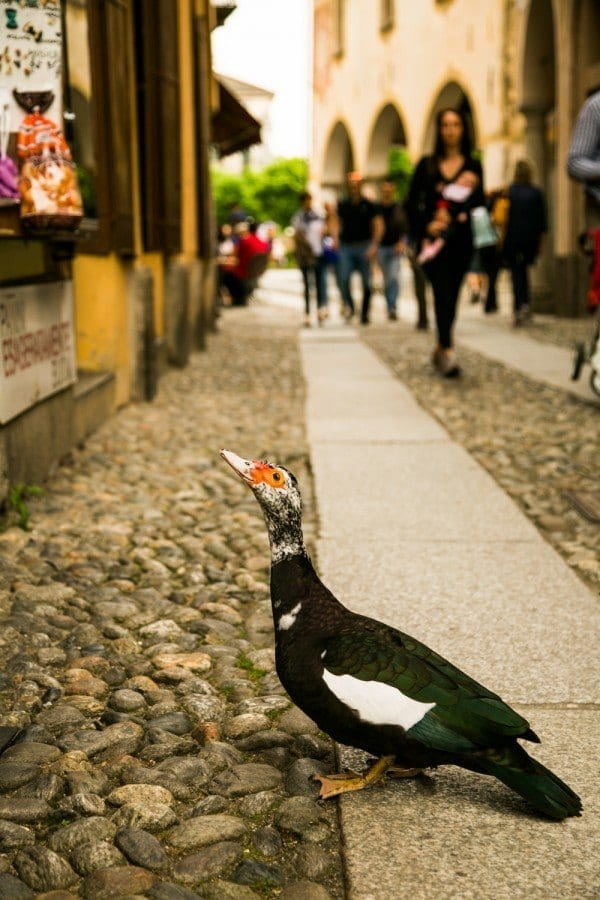 Un canard qui vient réclamer son morceau de pain !