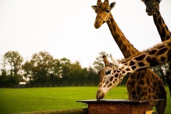 Les girafes de Cerza en train de manger