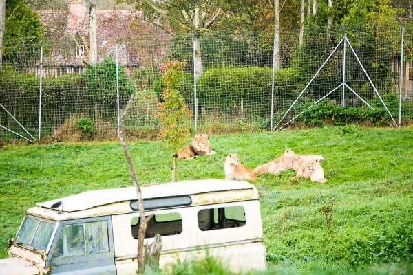 Les lions de Cerza