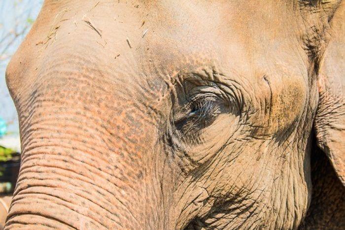 visage elephant