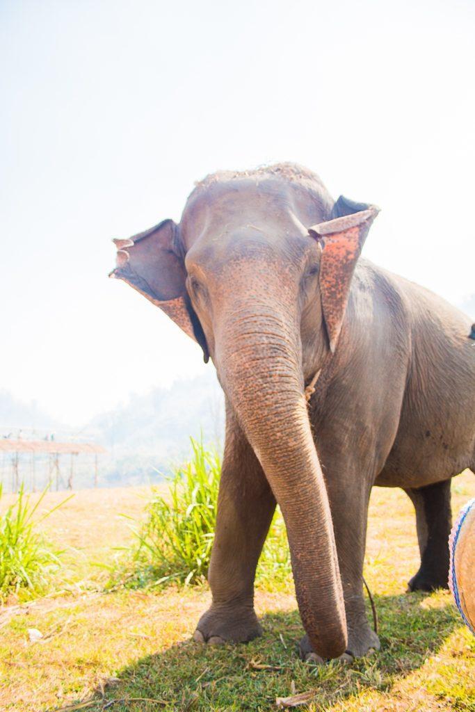 elephant de thailande
