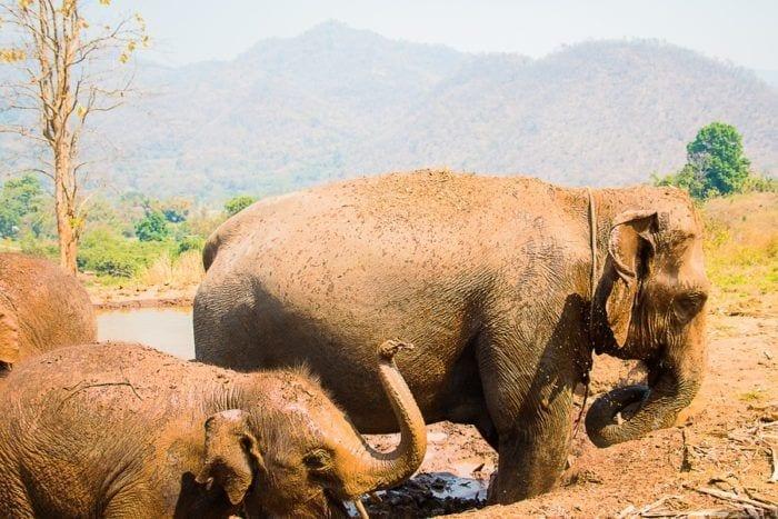 elephants bain de boue thailande