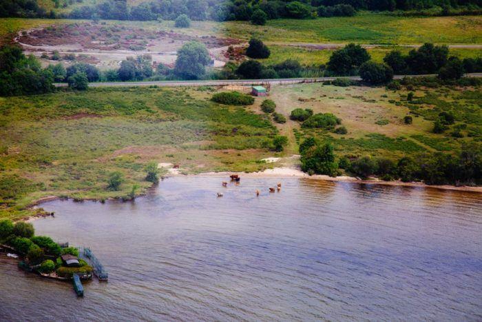 Les vaches au bord du lac de Biscarrosse