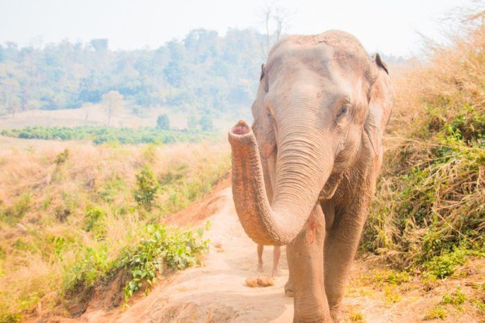 Eléphant Thaïlande