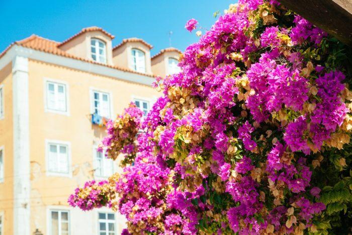 Fleurs de Lisbonne