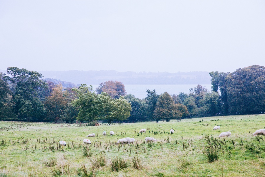 Les moutons de Castle Ward en Irlande