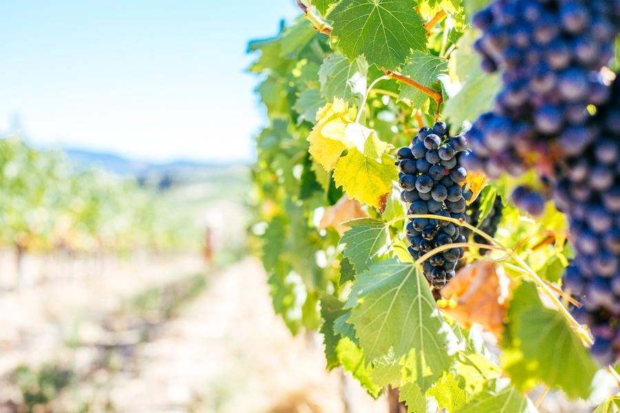 Vignobles du Chianti