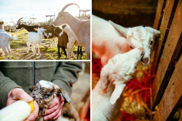 Les chèvres de la Ferme des 9 Fontaines