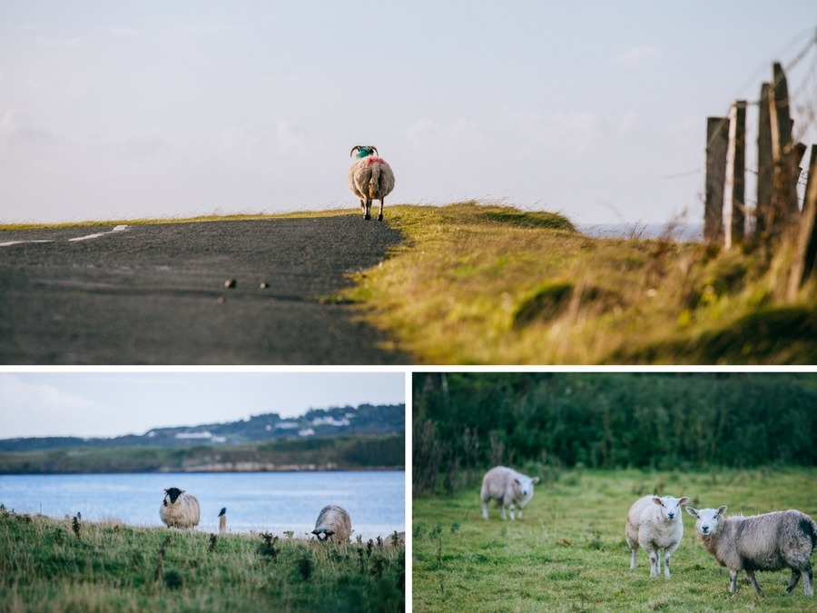 Moutons Wild Atlantic Way